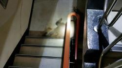 `150kg` 멧돼지, 아파트 4층 계단까지 올라와