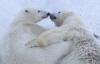 [포토]트럼프 당선 예측 북극곰, `즐거운 한 때`