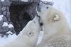 [포토]트럼프 당선 예측 북극곰, `우연의 일치?`