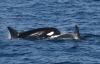 바다의 포식자, 범고래 귀환...16년 만에 동해서 발견