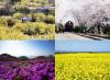 올 봄 떠나고 싶은 봄꽃 여행지