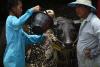 태국 물소 축제, `한 해 동안 고생했어`