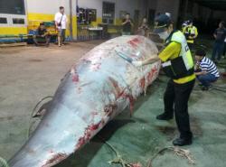 울산 앞바다서 7.2m 대형 밍크고래 혼획…6800만원에 팔려