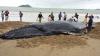 브라질 해수욕장서 혹등고래 발견..수백 명 도움으로 바다로 돌려보내