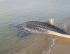 길이 3.2m에 달하는 멸종위기 고래상어 영덕 해안서 구조