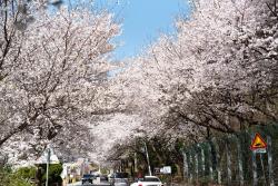 봄 꽃나들이, 서울근교 가볼만한곳 어디?
