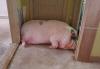 300kg 돼지가 애완용?…아파트 탈출 작전 '화제'