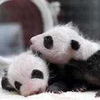 쌍둥이 팬더 탄생