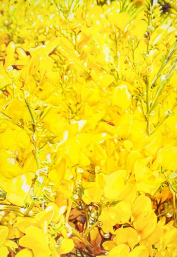 [e갤러리] 유채꽃이 전하는 황홀…김성호 `미라지`