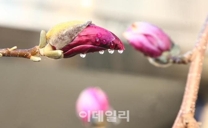 [포토] 봄비 머금은 자목련