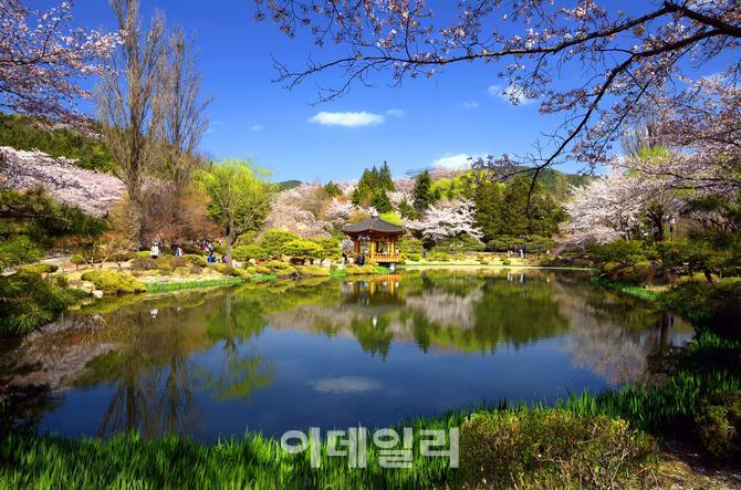 첫 경주벚꽃축제, 오는 31일 개막식…10일간 봄 축제 활짝 피다