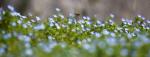 상림공원 큰개불알풀과 꿀벌