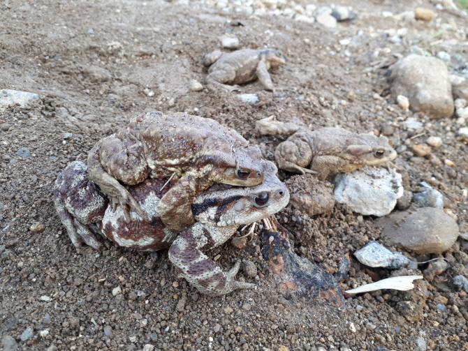 두꺼비를 황소개구리인줄 알고 먹은 50대男 숨져..`두꺼비독`이 뭐길래