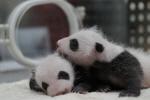 中 청두 팬더 연구소, 쌍둥이 팬더 탄생