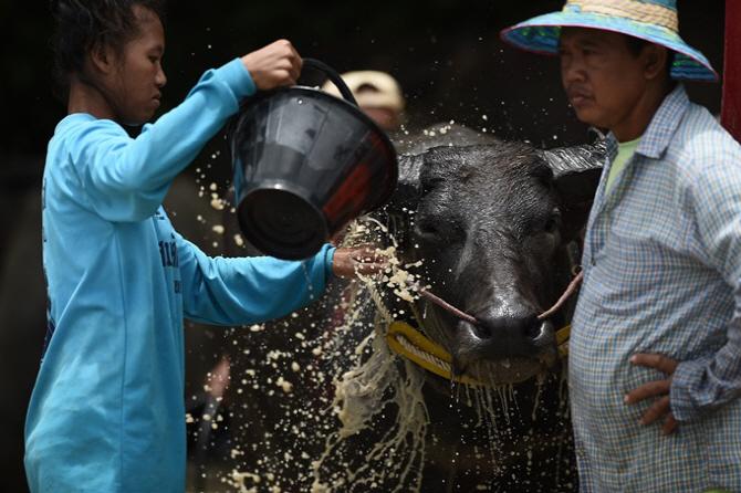 [포토]태국 물소 축제, `한 해 동안 고생했어`