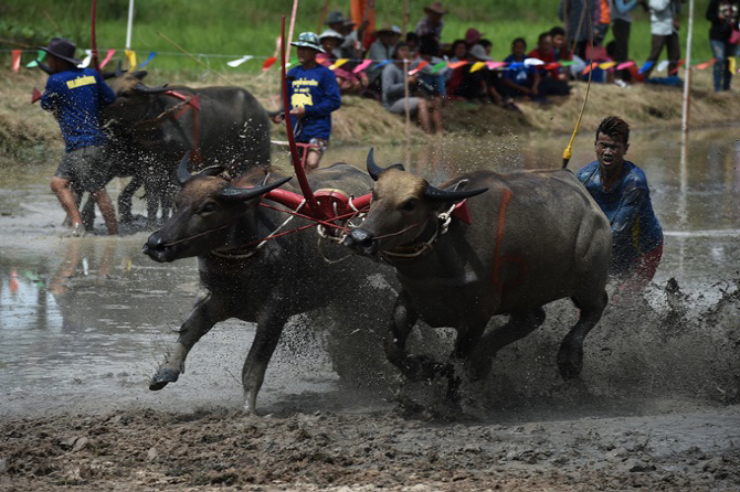 [포토]태국 물소 축제, `앞이 보이질 않아`