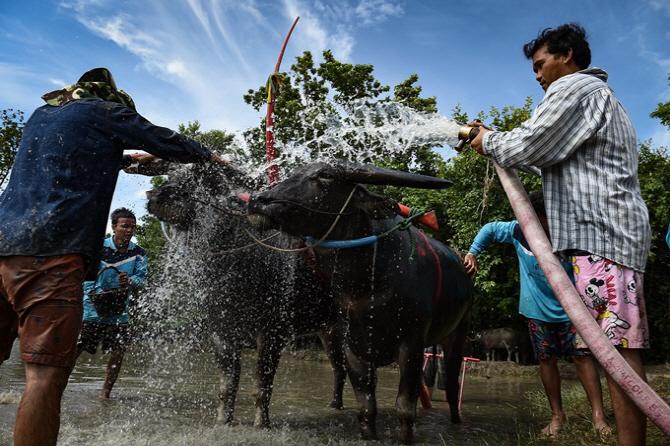 [포토]태국 물소 축제, `수고 많았어`