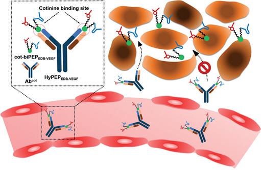 KAIST, 펩타이드-항체 하이브리드 항암제 기술 개발