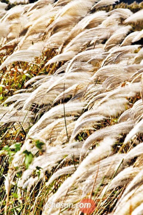 금빛 갈대밭으로 갈래 은빛 억새밭으로 올래