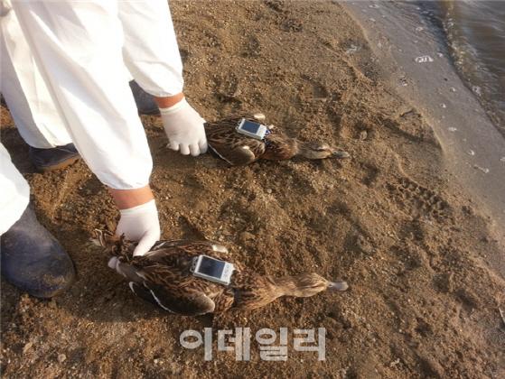 서울시, 한강변 철새에 GPS 부착해 AI 감시