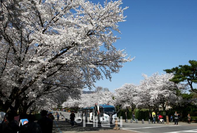 여행 서울 근교 봄꽃향연 나들이 명소는