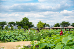 시흥 가볼 만한 곳, `연성 관곡지 연꽃축제`