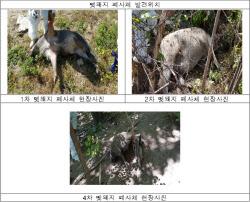 화천·연천서 돼지열병 야생멧돼지 9건 추가 발견…총 257건으로