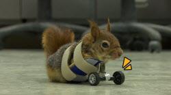 앞다리 잃은 다람쥐가 새 다리 얻고 보인 반응(영상)