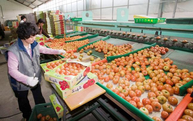 강원도, 이번엔 토마토다...어디서, 얼마에 판매하나