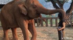 코끼리는 인간을 귀여운 댕댕이로 생각한다?(영상)