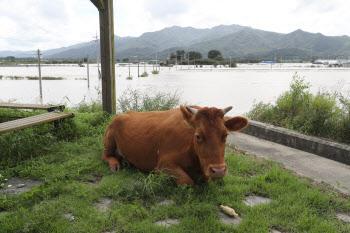 수해 피해 지붕으로 올라간 소들