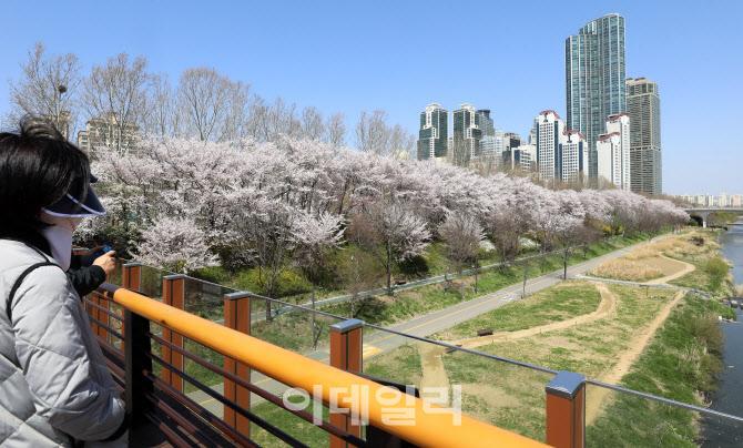 윤중로 벚꽃길, '차량 및 보행자 통행 금지입니다'                                                                                                                          ...