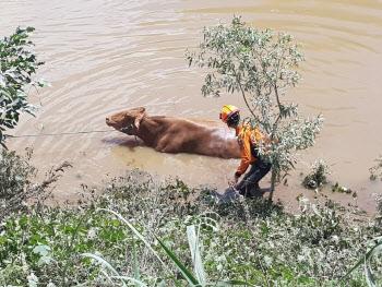 물에 빠진 소 구출