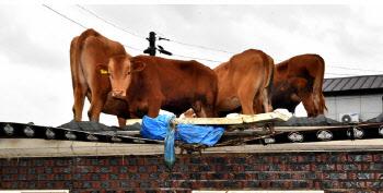 농가 곳곳 소 구출작업…지붕 오른 소는 크레인 동원